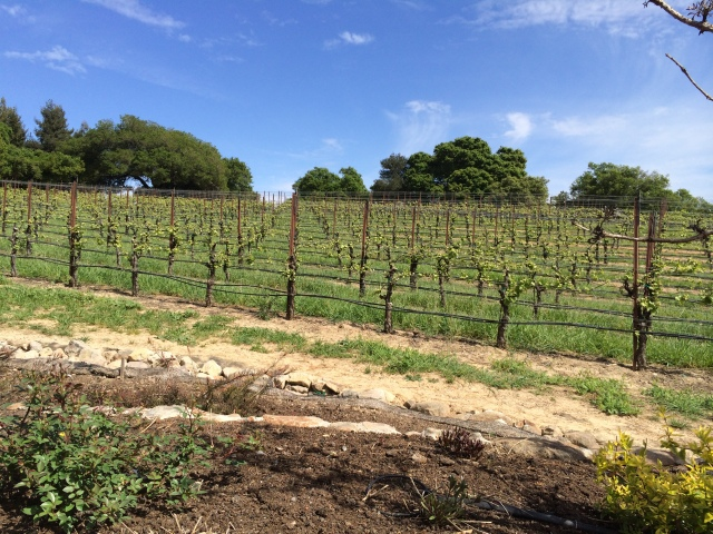 Vineyards at Merry Edwards winery (Katherine Hart, 2015)