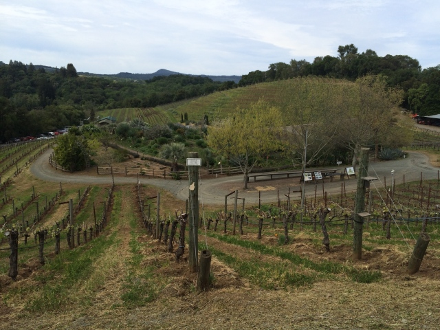 In the Benziger vineyards (Katherine Hart, 2015)