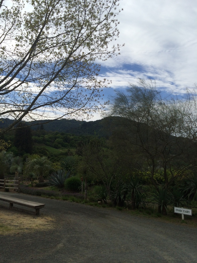 View of Sonoma Mountain from the vineyards (Katherine Hart, 2015)