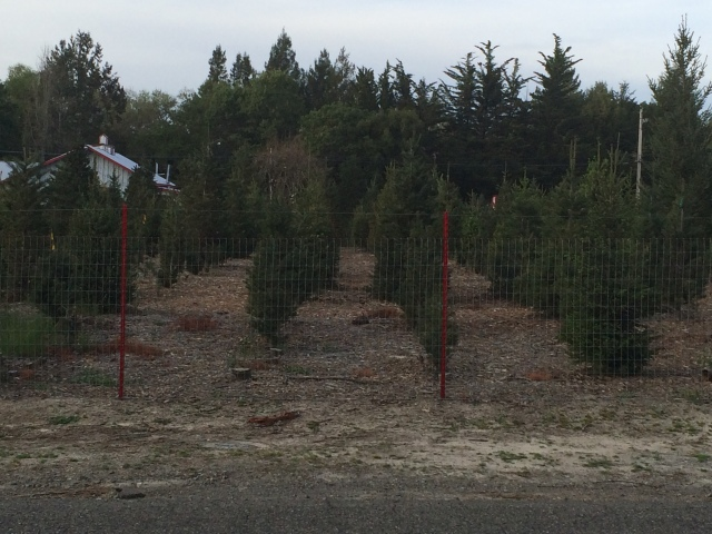 Christmas tree farm across the road (Katherine Hart, 2015)